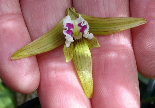 Dendrobium Amythaon
